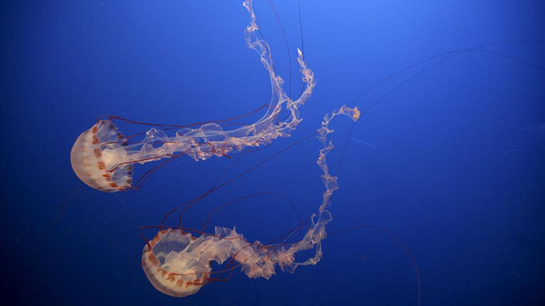 Do Jellyfish Hold the Secret of Curing Cancer?