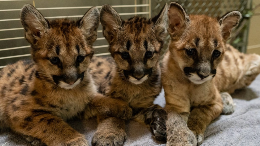 Rescued Mountain Lions Find a New Home